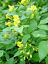 Portal Cool Yellow Yasmine, Niedriger Jasmin,