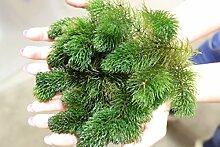 Portion Hornkraut (Ceratophyllum demersum)
