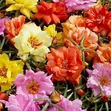 Portulaca Moos Rose Mix Bodendecker Seeds