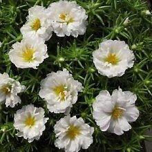 Portulaca Moos Rose Weiß Bodendecker Samen