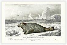 Poster Seal von Charles D' Orbigny Big Box Art