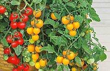 Pot hängenden Tomaten - rot und gelb - samen