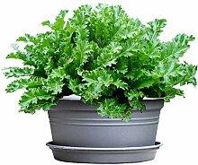 Potherb Senf roter Gemüsesamen Potherb Senf