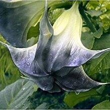 Potseed 10 Samen/Packung Weiße