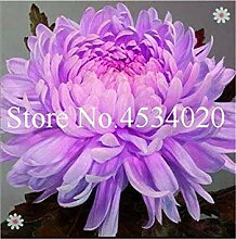 Potseed . 100 PC Multi-Color Chrysantheme,