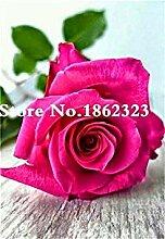 Potseed . 100 Stück Seltene Rosen-Blumen-Pflanze,