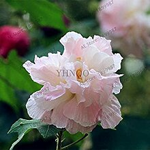 Potseed 16: 50pcs / Bag Iris Orchidee Samen,