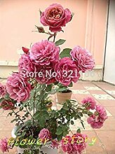 Potseed 200 MEI Lang Lippenstift Roses Samen,