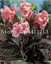Potseed 50 PC-Multi-Color Perennial Canna Blume