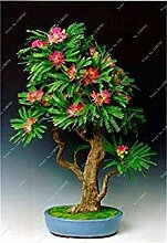 Potseed 50 Stück Regenbogen Albizzia Acacia Blume