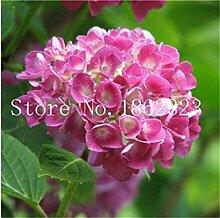 Potseed 50Pcs Kletter-Hortensie, Hydrangea