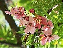 Potseed . Blüte Cassia Megalantha