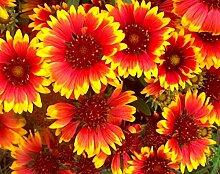 Potseed . Blumensamen: Alle Decken Blumensamen -