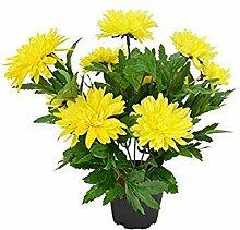 Potseed . Blumensamen: Chandramallika gelbe Garten