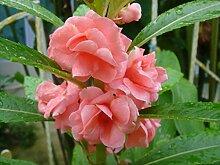 Potseed . Blumensamen: Rose orange Baslam Mix