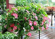 Potseed . Blumensamen Rose Periwinkle Garten Samen