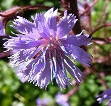 Potseed - Cicerbita Alpina Seeds