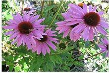 Potseed ECHINACEA - CONEFLOWER - Purple - 360
