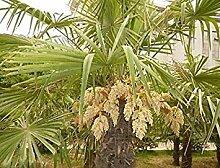 Potseed . Frühlings-Lady Palm Samen 10pcs