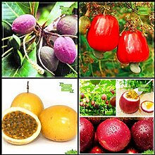 Potseed . für Garten Combo: Sea-Mandel, Cashew