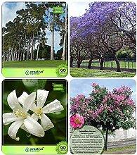 Potseed . für Outdoor-Garten Eukalyptus,