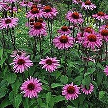 Potseed Keimfutter: 30 + Seeds * Echinacea