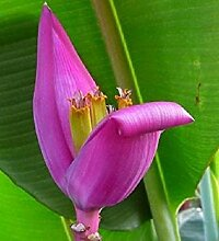 Potseed Rosae Banane aus Birma, Ornamental, Musa
