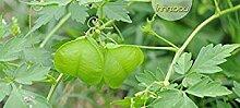 Potseed Samen Keimung: 10 Samen Ballonrebe