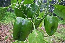 Potseed Samen Keimung: 25 Grüne Paprika Samen,