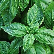 Potseed Samen Keimung: Basilikum Großes Blatt