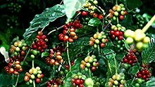 Potseed Samen Keimung: Kaffee Pflanzensamen - Cafe