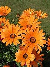 Potseed Seedville 3000 Clasping Sonnenhut