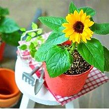 Preis ab! 40 Stück Zwergsonnenblumensamen Zierpflanze Bonsai Blumensamen bunt Natürliches Wachstum für Hausgarten Hof 1