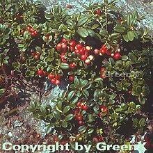 Preiselbeere 15-20cm - Vaccinium vitis idaea
