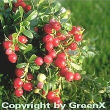 Preiselbeere Koralle 15-20cm - Vaccinium vitis idaea