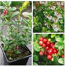 Preiselbeere, Vaccinium vitis-idaea Moosbeere ca. 10-20 cm gesunde Pflanze als Bodendecker im Topf