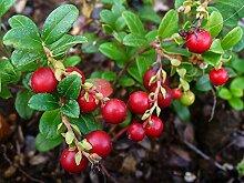 Preiselbeere Vaccinium vitis-idaea Pflanze 15-20cm