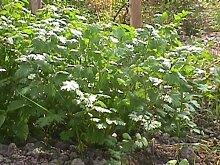 Premier Seeds Direct HRB13 Kraut KorianderSamen zum Keimen (Packung mit 1500)