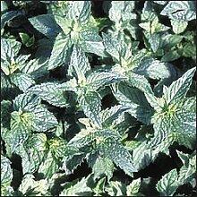Premier Seeds Direct HRB29 Kraut Grüne MinzeSamen (Packung mit 3000)