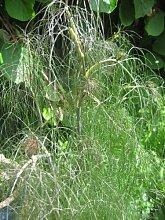 Premier Seeds Direct HRB43 Kraut der Rotlaubigen FenchelSamen (Packung mit 200)