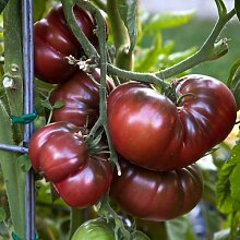 "Premier Seeds Direct Tomaten ""Black Krim"" beinhaltet 100 Samen"