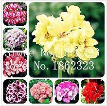 prime vista 100 Pcs Geranium Bonsai Seltene Bunte