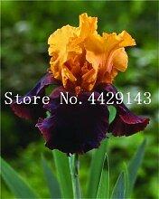 prime vista 100 Stück Bonsai Iris Blume