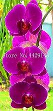 prime vista 100 Stücke Einzigartige Orchidee