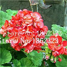 prime vista 100 Stücke Geranium Bonsai Seltene