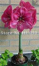 prime vista 100 teile/beutel Wahre Amaryllis Blume