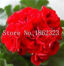 prime vista 50 Stück Geranium Bonsai, Garten