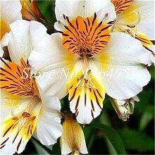 prime vista 60 Stücke Bonsai Peruanische Lilie