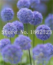 prime vista 200 stücke Riesen Allium