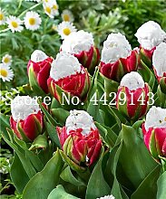 prime vista 50 stücke Tulpe Bonsai